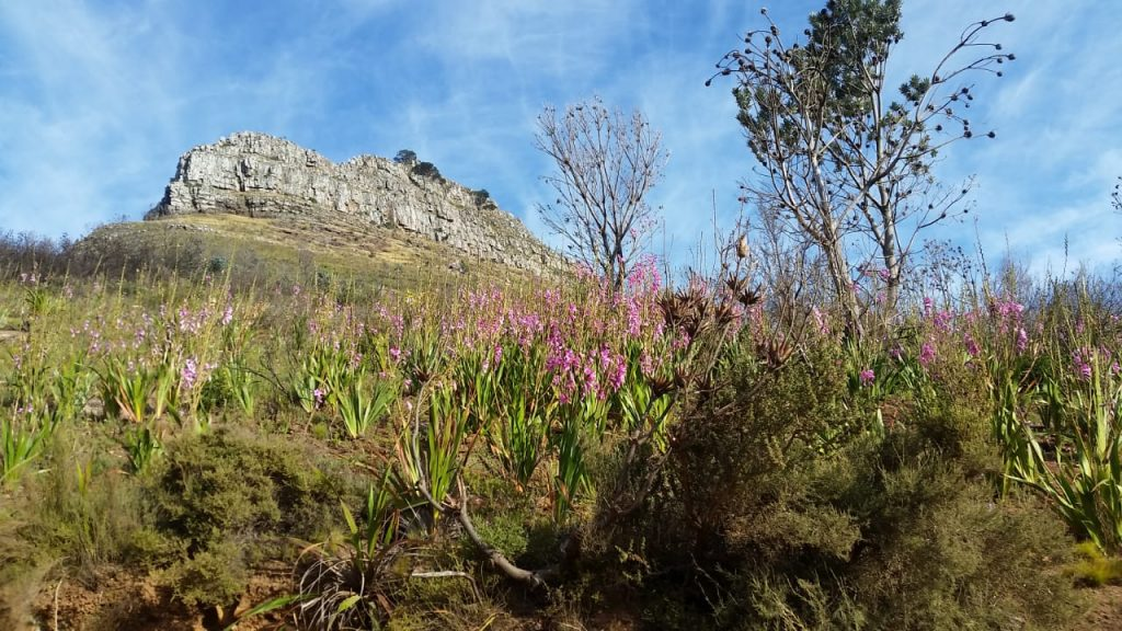 Lion's Head - Watsonias : Picture Gallery